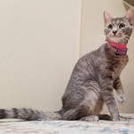 Baby Girl - Domestic Short Hair