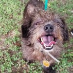 Andy - Cairn Terrier [Mix]