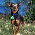 Pops - Miniature Pinscher [Mix]