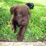 Teddy - Terrier / German Wirehaired Pointer [Mix]