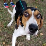 Cadillac - Treeing Walker Coonhound [Mix]