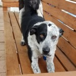 Hailey - Catahoula Leopard Dog [Mix]
