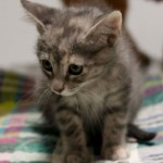 Annabee - Domestic Short Hair