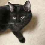 Jackson - Domestic Short Hair