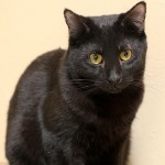 Jedd - Domestic Short Hair