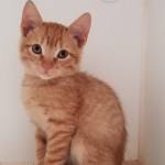 Beaker - Domestic Short Hair