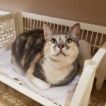 Jazelle - Domestic Short Hair