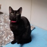 Regina - Domestic Short Hair