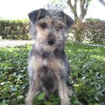 Sterling - Terrier / Yorkshire Terrier Yorkie [Mix]