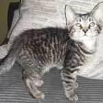 Uno - Domestic Short Hair / Tabby [Mix]