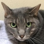 Angelina - Domestic Short Hair / Tabby