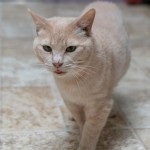 Buttercup - Domestic Short Hair