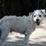 Nougat - Terrier / Poodle (Miniature) [Mix]