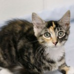 Brooklyn - Domestic Short Hair / Calico