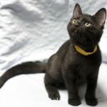 Darin - Domestic Short Hair