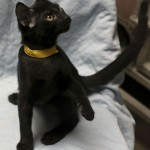 Darrell - Domestic Short Hair
