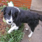 Mambo - Border Collie