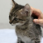 Remington - Domestic Short Hair / Tabby