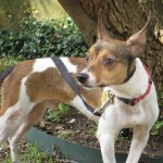 Pinto - Fox Terrier / Jack Russell Terrier [Mix]
