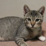 Carlton - Domestic Short Hair