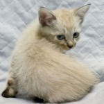 Simone - Siamese / Domestic Short Hair
