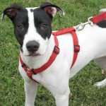 Lucy - American Staffordshire Terrier [Mix]