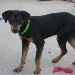 Harvey - Black and Tan Coonhound [Mix]