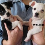 Dave - Terrier / Jack Russell Terrier [Mix]