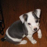 Cab - Terrier / Jack Russell Terrier [Mix]