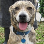 Amoretta - Australian Cattle Dog/Blue Heeler / Catahoula Leopard Dog [Mix]