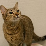 Trisha - Tabby / Domestic Short Hair [Mix]
