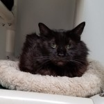 Rayanne - Maine Coon / Domestic Medium Hair [Mix]