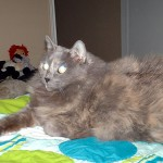 Cagney - Dilute Calico / Domestic Medium Hair [Mix]