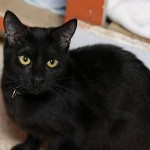 Quisha - Domestic Short Hair