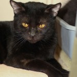 Quita - Domestic Short Hair