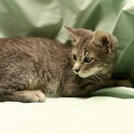 Zeb - Tabby / Domestic Short Hair