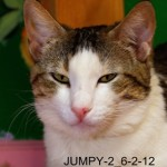 Jumpy - Tabby / Domestic Short Hair [Mix]