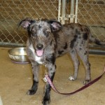 Jilly - Catahoula Leopard Dog / Cattle Dog [Mix]