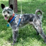 Keeper - Terrier / Schnauzer [Mix]