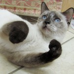 Fancy - Siamese