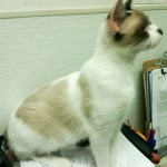 Nancy - Siamese / Snowshoe