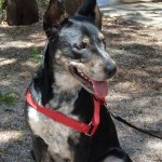 Salsa - Australian Cattle Dog/Blue Heeler [Mix]