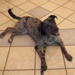 Delilah - Catahoula Leopard Dog / Australian Shepherd [Mix]