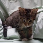 Andrew - Domestic Short Hair / Tabby