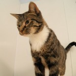 Dora - Domestic Short Hair / Tabby