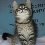 Wayne - Domestic Short Hair / Tabby