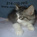 Wes - Domestic Short Hair / Tabby