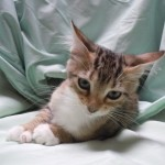 Heidi - Tabby / Domestic Short Hair