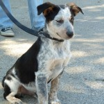 Franklin - Australian Cattle Dog/Blue Heeler [Mix]