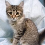 Ulan - Tabby / Domestic Short Hair